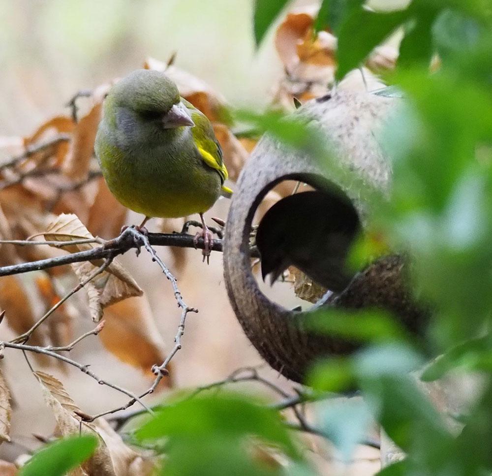 Grünfinken
