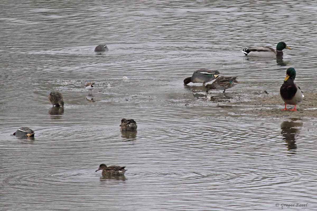 Flussregenpfeifer mit Krickenten