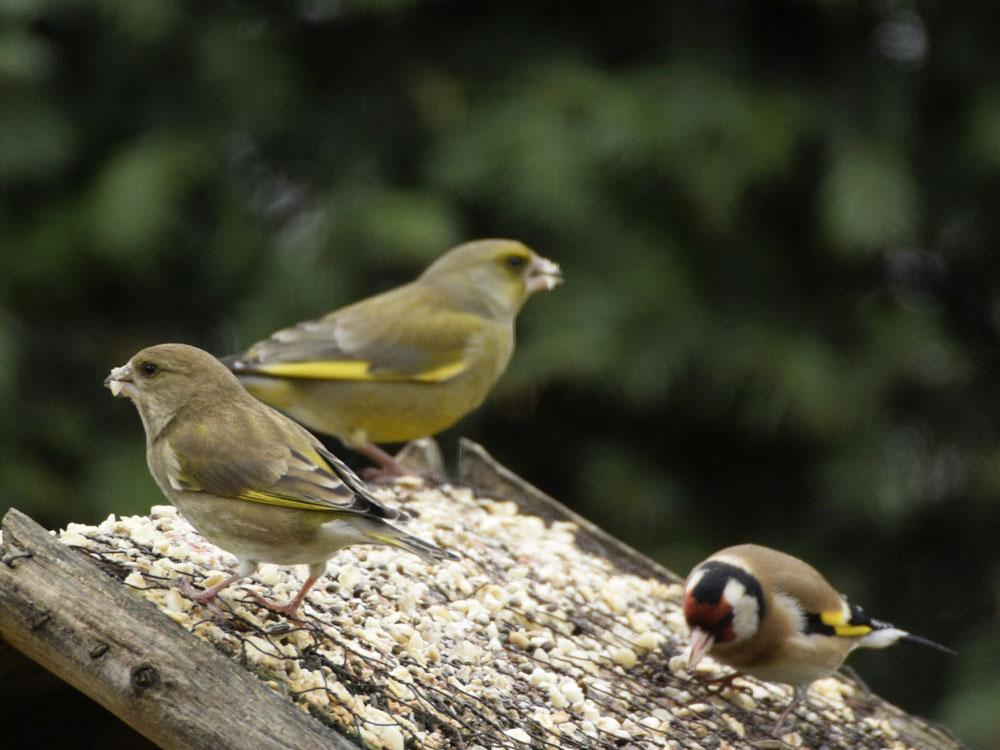 Grünfinken-Pärchen und Stieglitz
