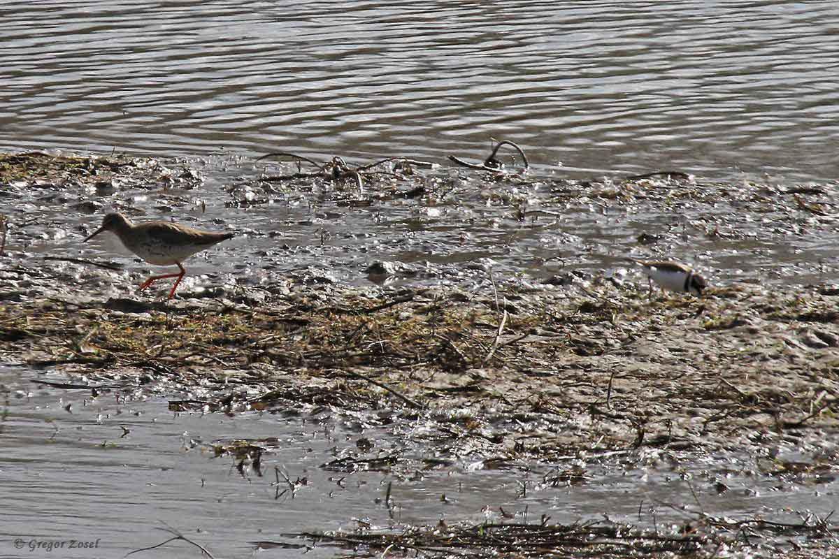 Rotschenkel und Flussregenpfeifer