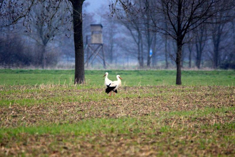 Weißstorch
