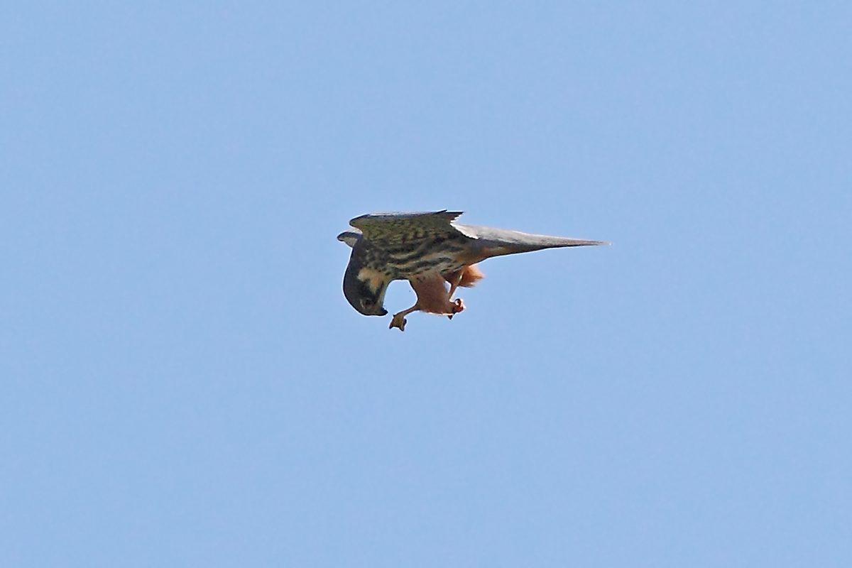 Baumfalke verspeist im Flug Beutetier