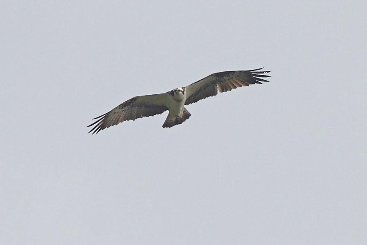 Fischadler Flugbild