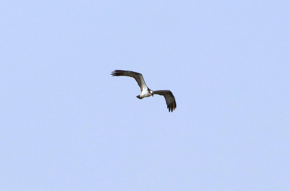 Fischadler über dem RRB- Bramey.  06.04.19 Foto: Hartmut Peitsch