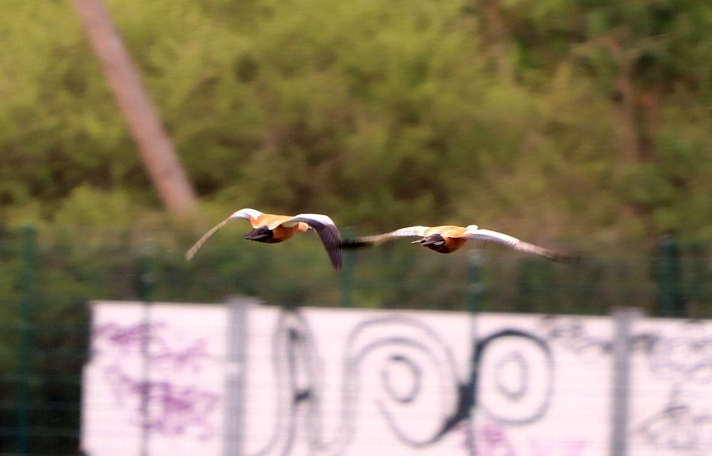 Rostgänse abfliegend am 25.04.19 Foto: Hartmut Peitsch