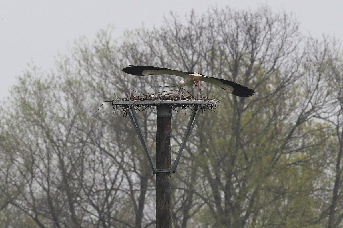 Weißstorch vom Storchenmast abfliegend