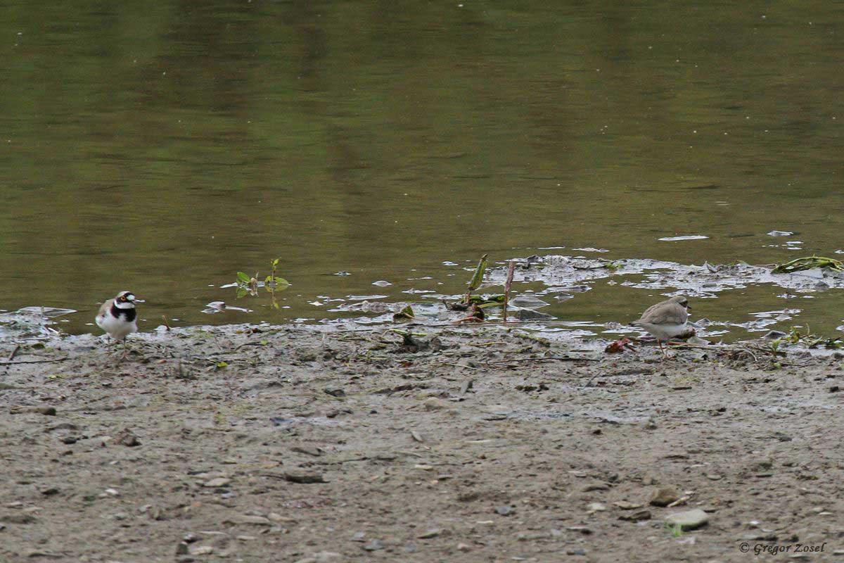 Flussregenpfeifer