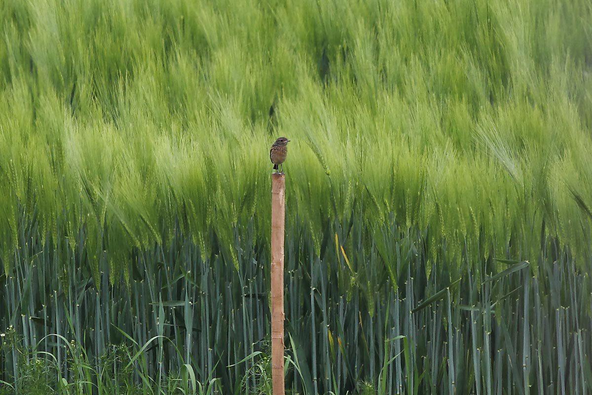 Schwarzkehlchen (flügger Jungvogel)