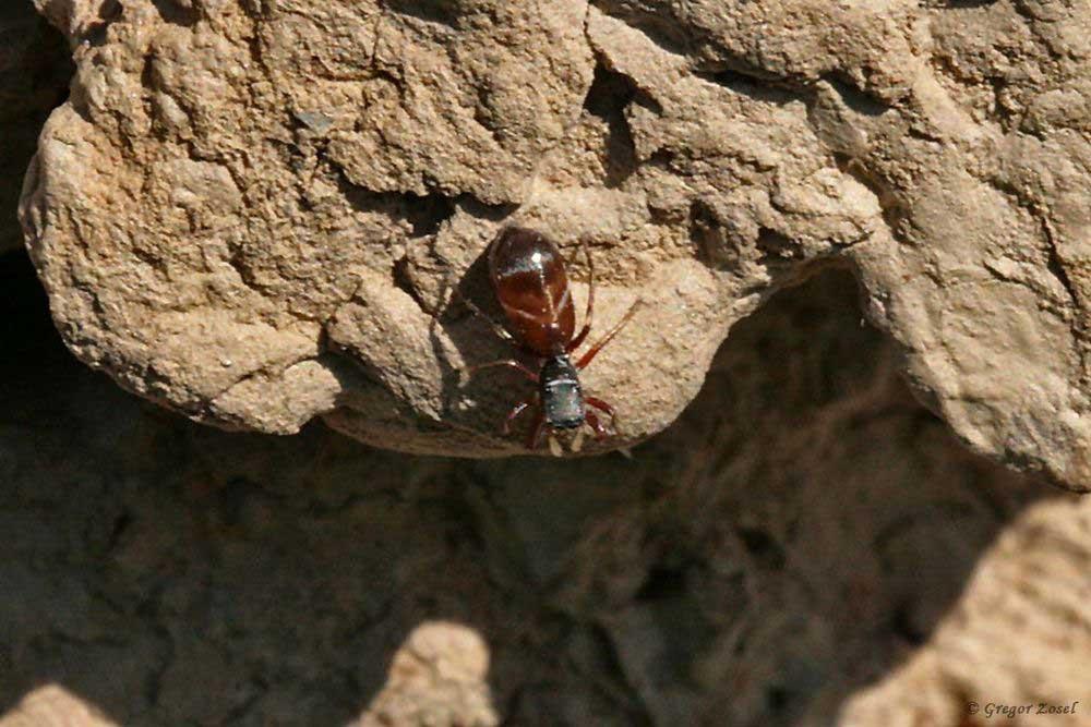 Ameisenspringspinne