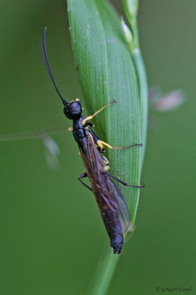 Halmwespe Cephus spinipes