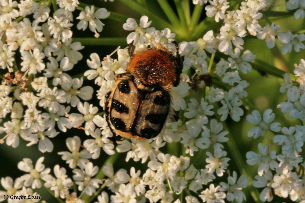 Glattschieniger Pinselkäfer (Trichius zonatus)