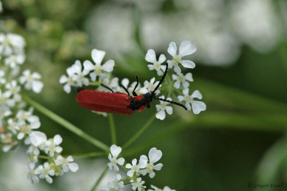 Rüssel-Rotdeckenkäfer (Lygistopterus sanguineus)