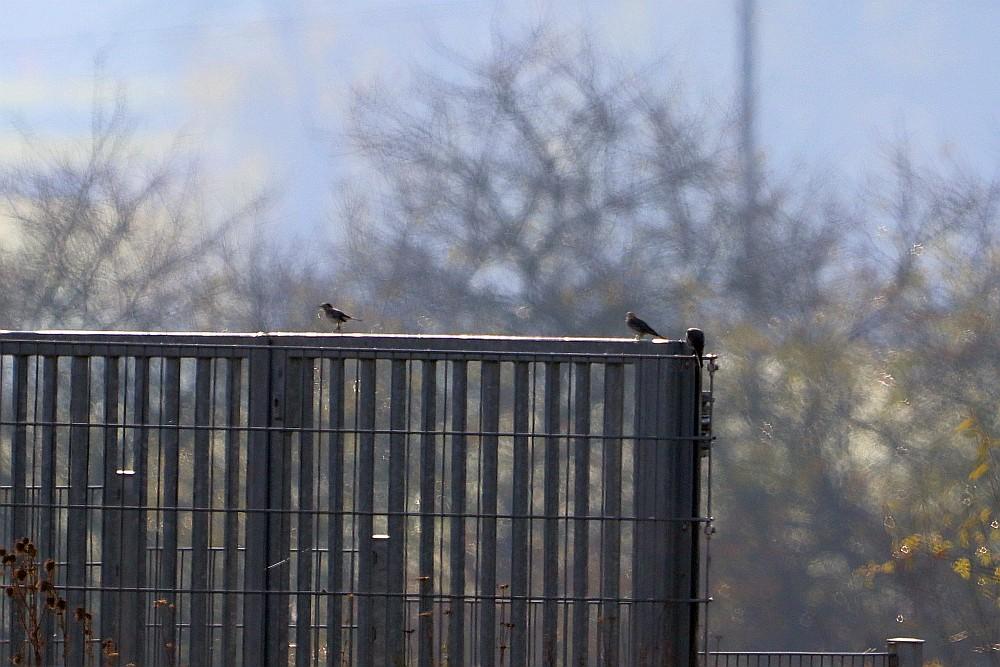 Bachstelzen auf dem Tor am HRB. 24.11.19 Foto: Hartmut Peitsch