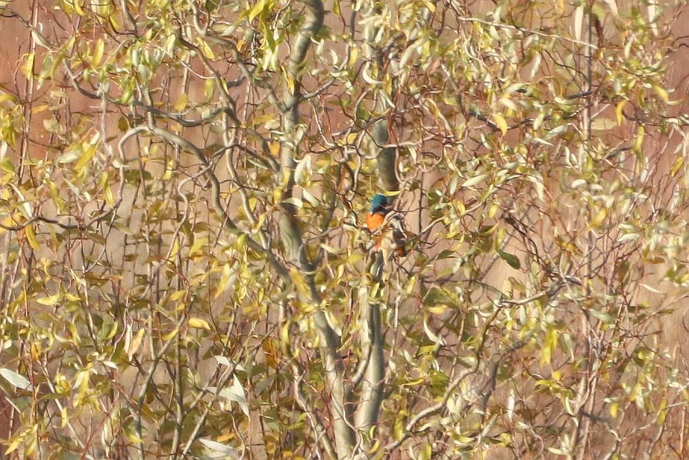 Auch der Eisvogel zeigte sich nicht in voller Pracht. 24.11.19 Foto: Hartmut Peitsch