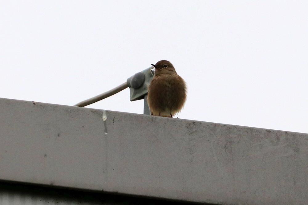Dieses Exemplar fand ich ganz im Osten des Gebietes hoch oben auf einem Industriegebäude.  Hausrotschwanz, 17.11.19 Foto: Hartmut Peitsch
