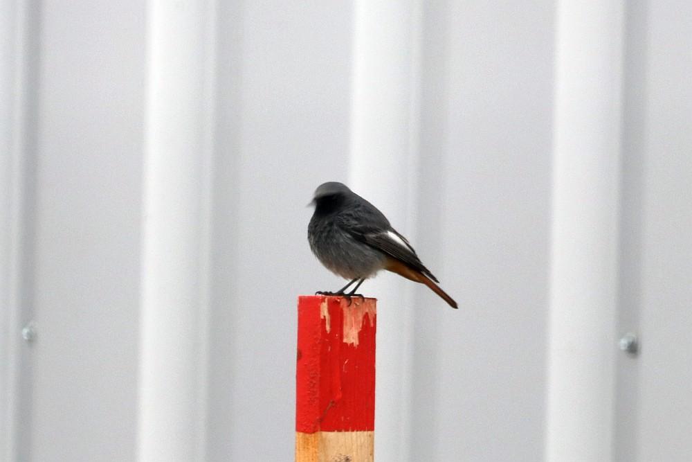Immer in Sichtkontakt, dieses alte Männchen. Leider ein schlechtes Foto, weil durch den hohen Gitterstabzaun fotografiert wurde. 17.11.19 Foto: Hartmut Peitsch