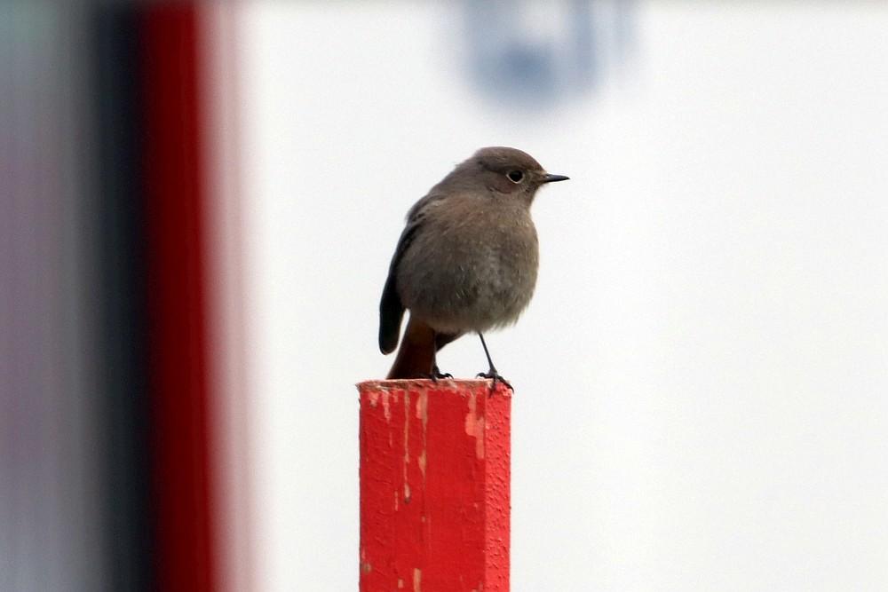 Hausrotschwanz, weibchenfarbig, möglicherweise ein Jungvogel. 17.11.19 Foto: Hartmut Peitsch