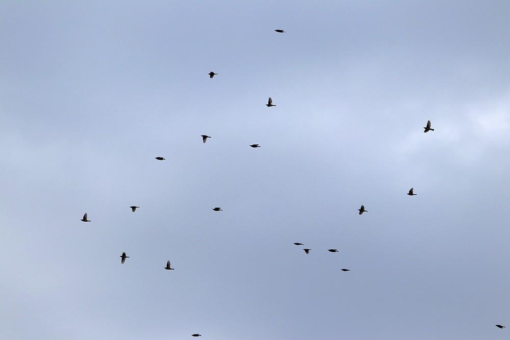 Rotdrosseln fliegen vorbei. 07.11.19 Foto: Hartmut Peitsch
