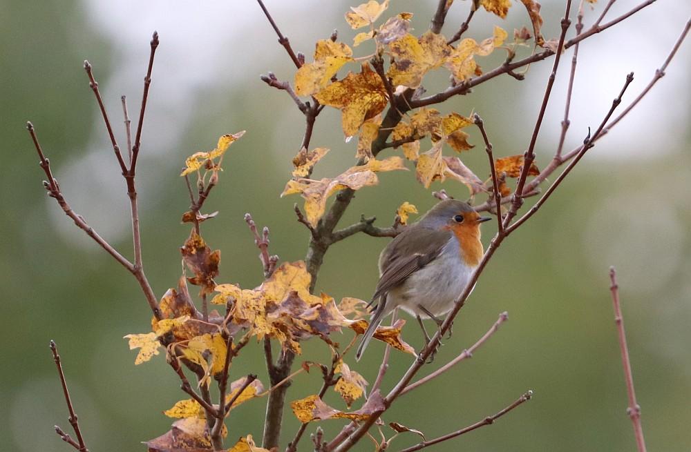 An mehreren Orten war der Gesang des  Rotkehlchens zu hören.  07.11.19 Foto: Hartmut