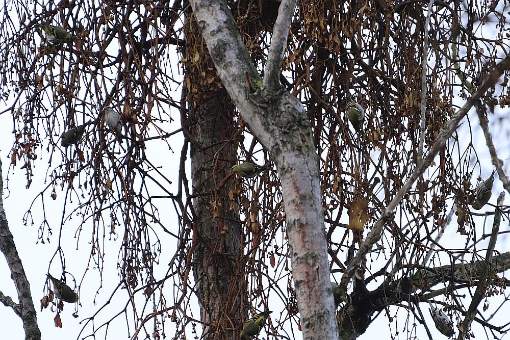 Ein Trupp Erlenzeisige hoch oben in den Bäumen. 26.12.19 Foto: Hartmut Peitsch