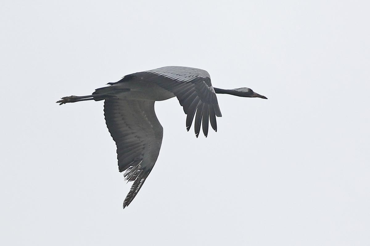 Kranich im Flug