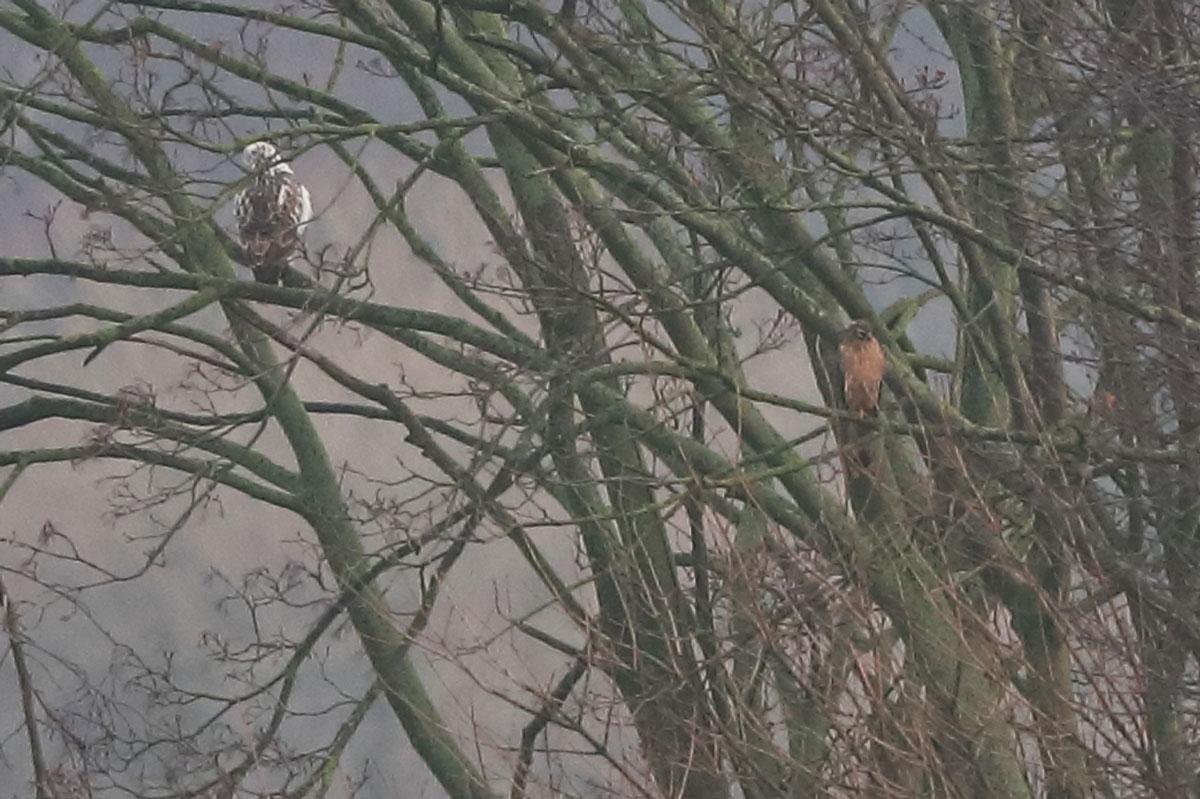 Kornweihe im Baum sitzend
