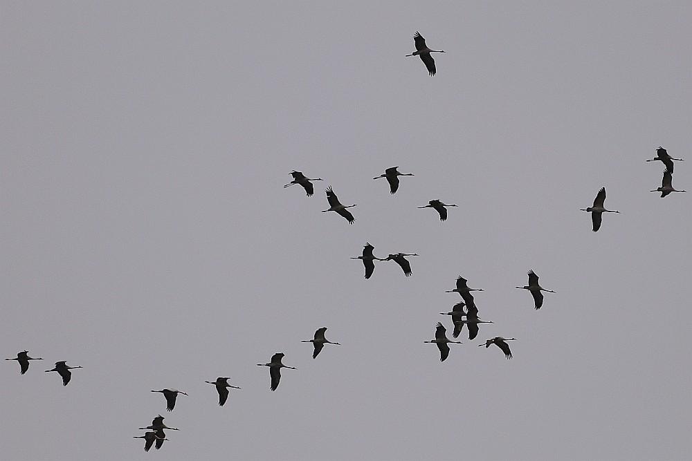 Kraniche kreisen über Bramey. 29.02.20 Foto: Hartmut Peitsch