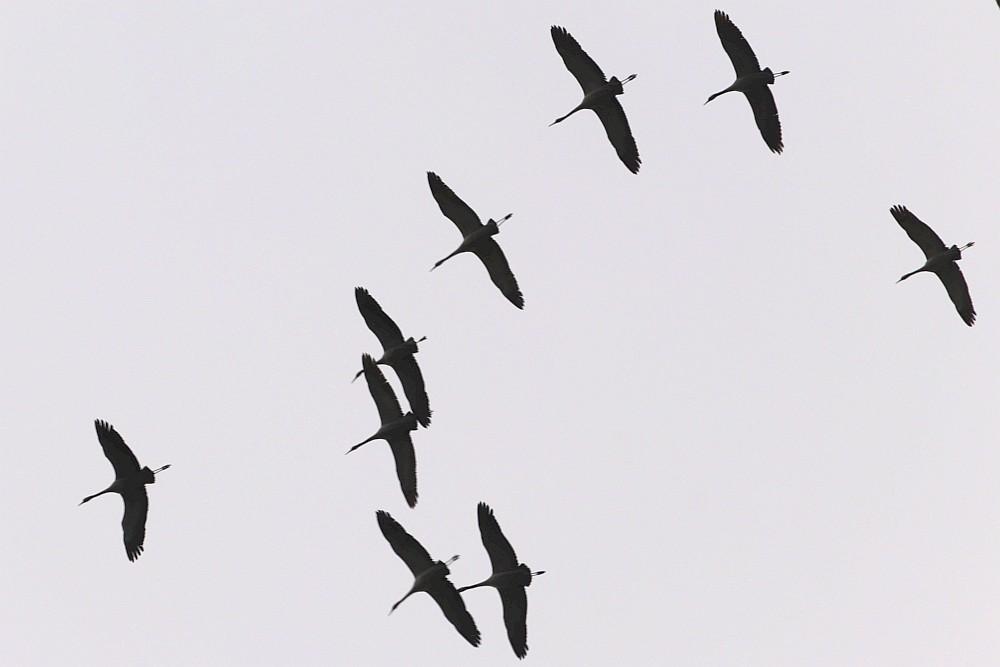 Kraniche, 29.02.20 Foto: Hartmut Peitsch