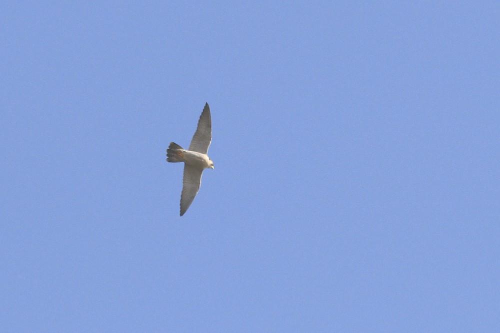An den spitzen Flügelenden ist der Wanderfalke zu erkennen. 17.02.20 Foto: Hartmut Peitsch