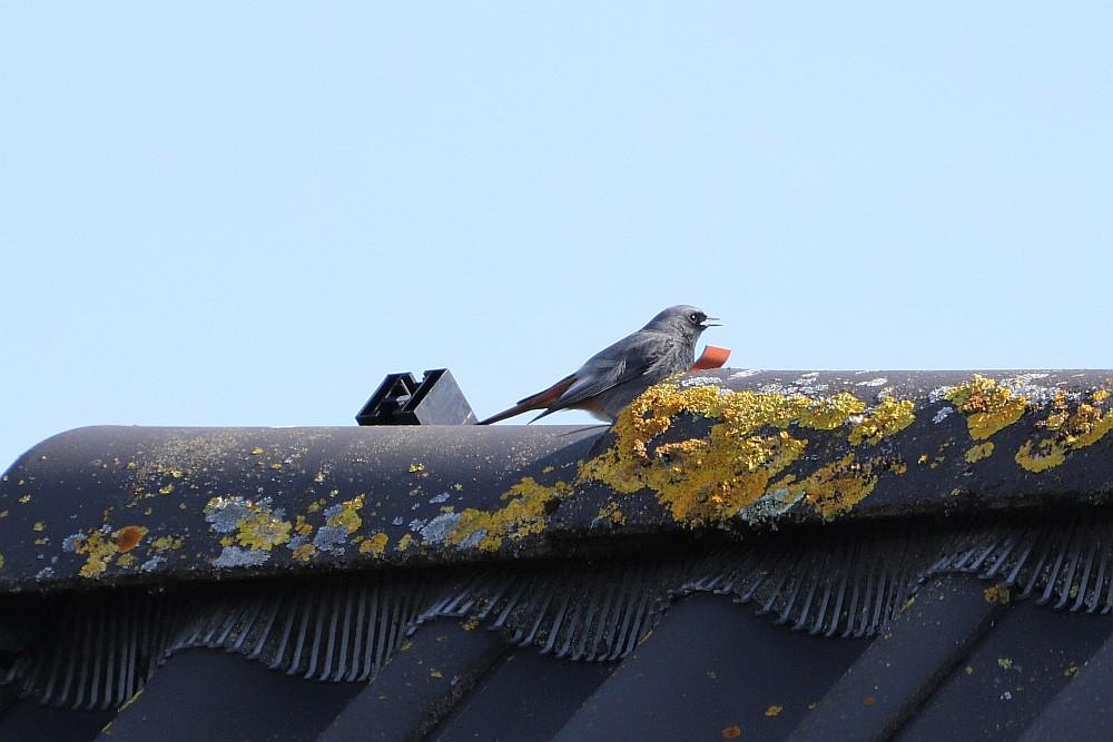 Singender Hausrotschwanz auf dem Dach des Nachbarn. 17.03.20 Foto: Hartmut Peitsch