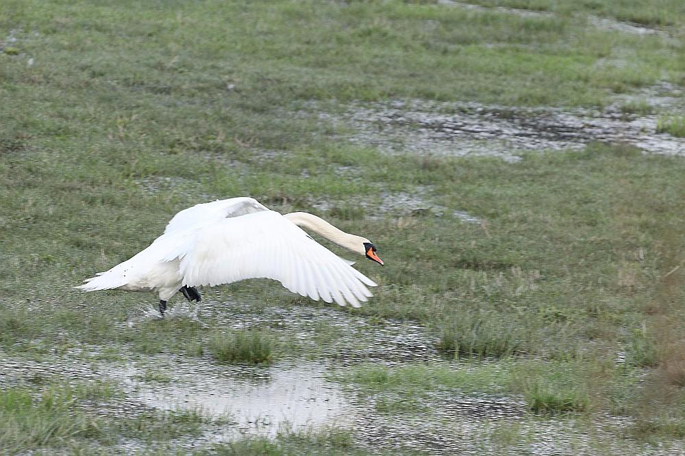 Der Höckerschwan geht wie ein Stier voran... 19.03.20 Foto: Hartmut Peitsch