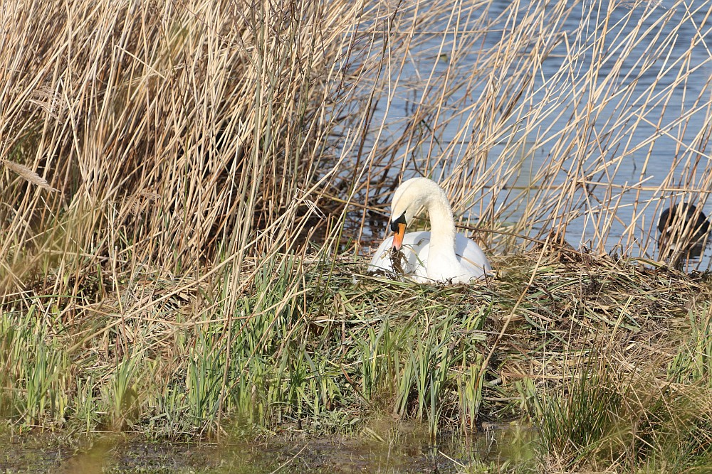 Der Grund für sein aggressives Verhalten zeigt sich hier. Die Höckerschwan - Dame ist mit dem Nestbau beschäftigt. 19.03.20 Foto: Hartmut Peitsch