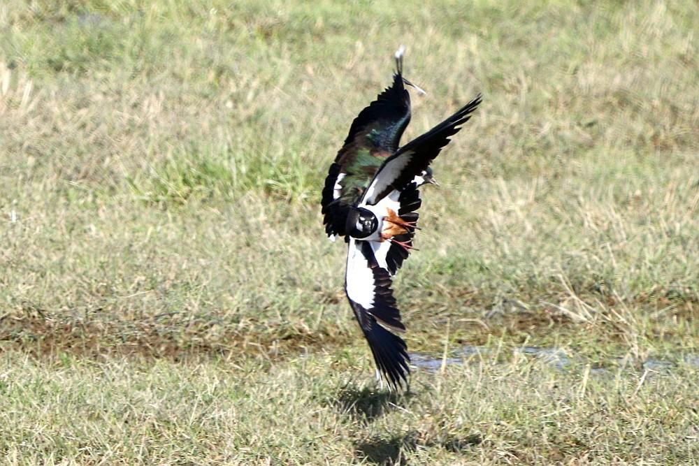 Kiebitze sind akrobatische Flieger. 30.03.20 Foto: Hartmut Peitsch