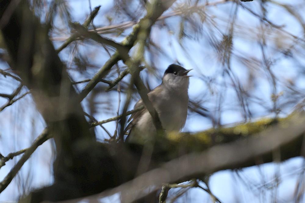 Singende Mönchsgrasmücke, 23.03.20 Foto: