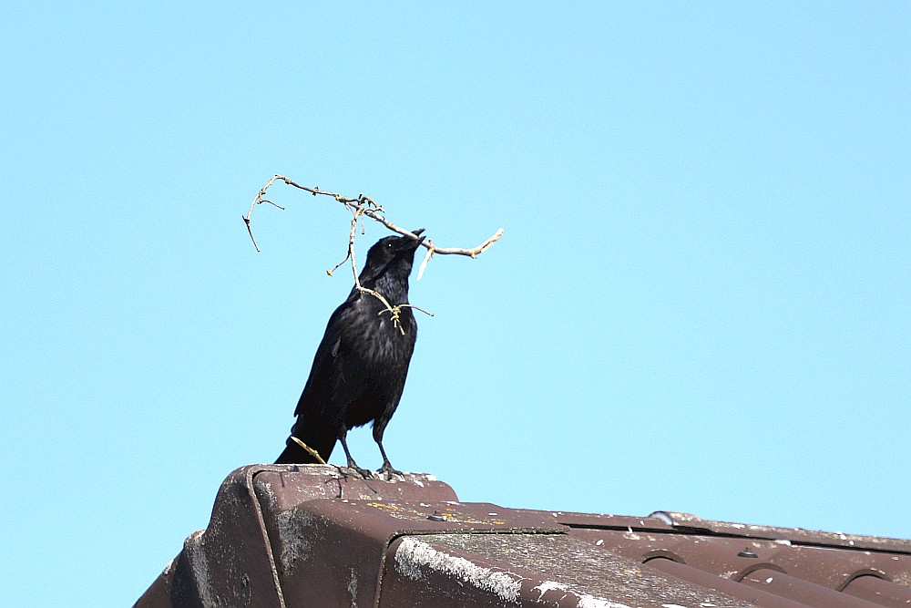 Rabenkrähe mit Baumaterial für das Nest.  23.03.20 Foto: Hartmut Peitsch