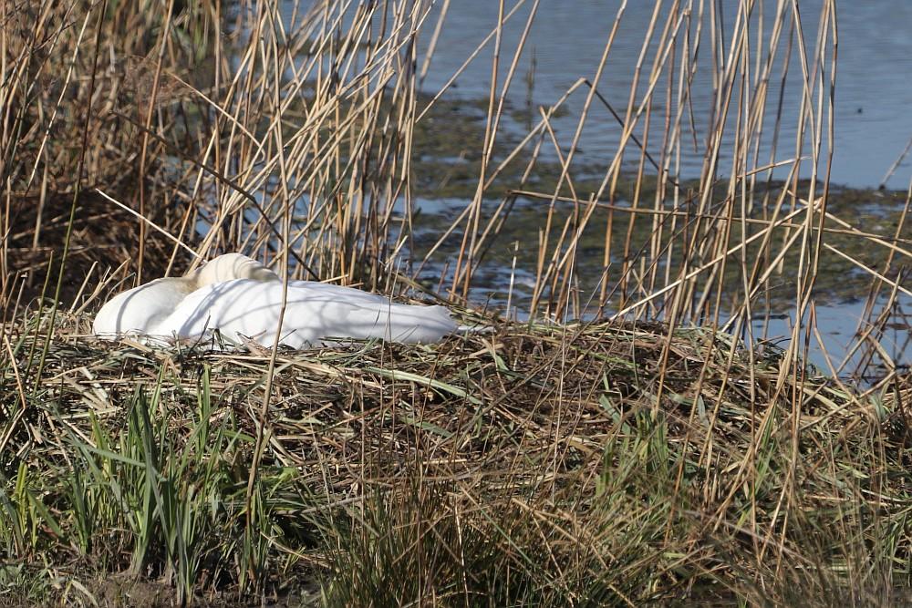 Die Höckerschwäne scheinen mit der Brut begonnen zu haben.  23.03.20 Foto: Hartmut Peitsch