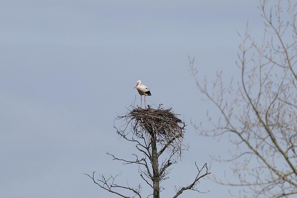 Ein Weißstorch ist seit gestern wieder in den Hemmerder Wiesen zu sehen.  15.03.20 Foto: Hartmut Peitsch
