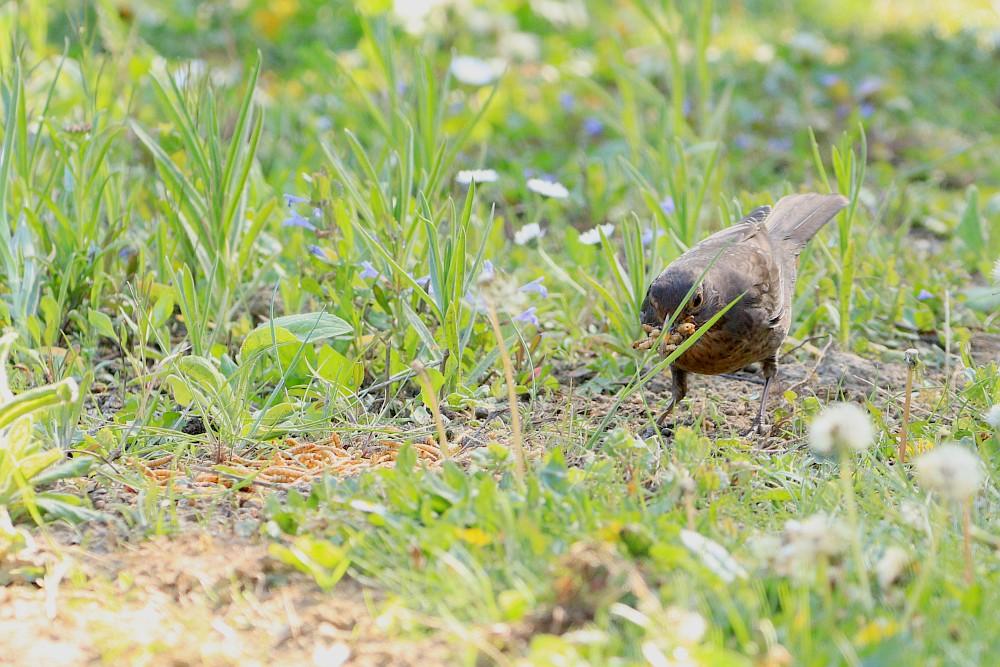 Das Amselweibchen bekommt den Hals nicht voll... 26.04.20 Foto: Hartmut Peitsch