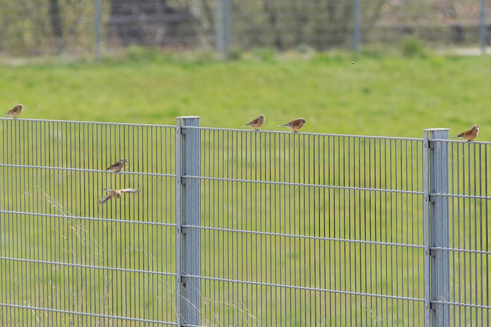 Bluthänflinge,  12.04.20 Foto: Hartmut Peitsch