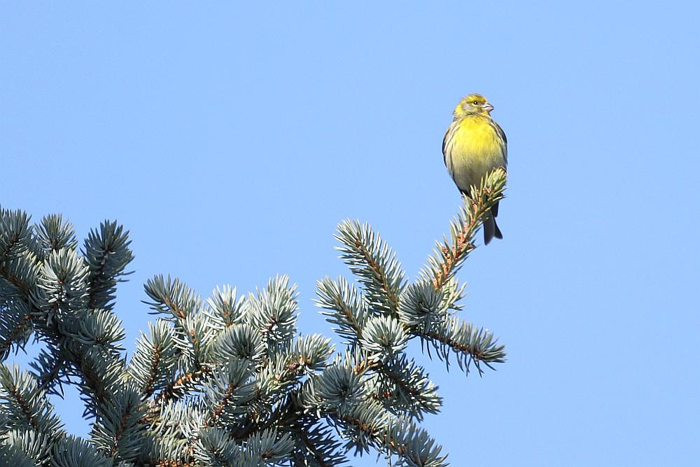 Girlitz - Männchen wacht und singt während das Weibchen Nistmaterial in den Nadelbaum einträgt. 01.04.20 Foto: Hartmut Peitsch