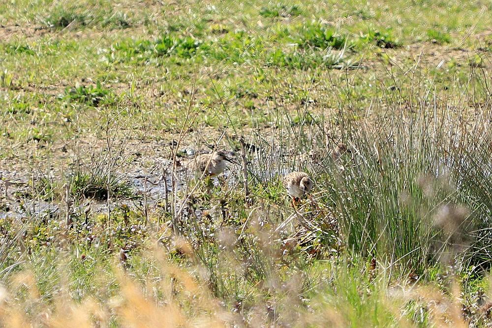 Drei nicht eindeutig zu erkennende Limikolen, wahrscheinlich sind es Kampfläufer. 12.04.20 Foto: Hartmut Peitsch
