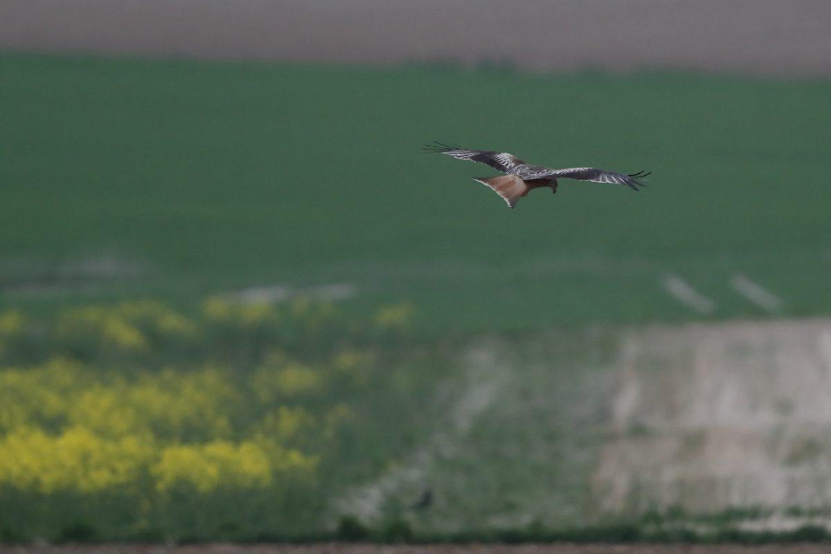 Rotmilan über Acker fliegend