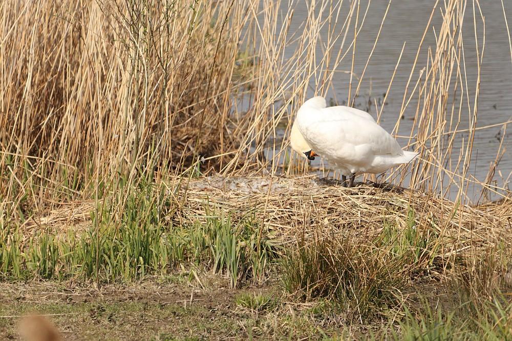 Die Höckerschwan - Dame war kurz im Wasser, danach wird geputzt und dann weiter gebrütet. Die halbe Brutzeit ist schon geschafft... 07.04.20 Foto: Hartmut Peitsch