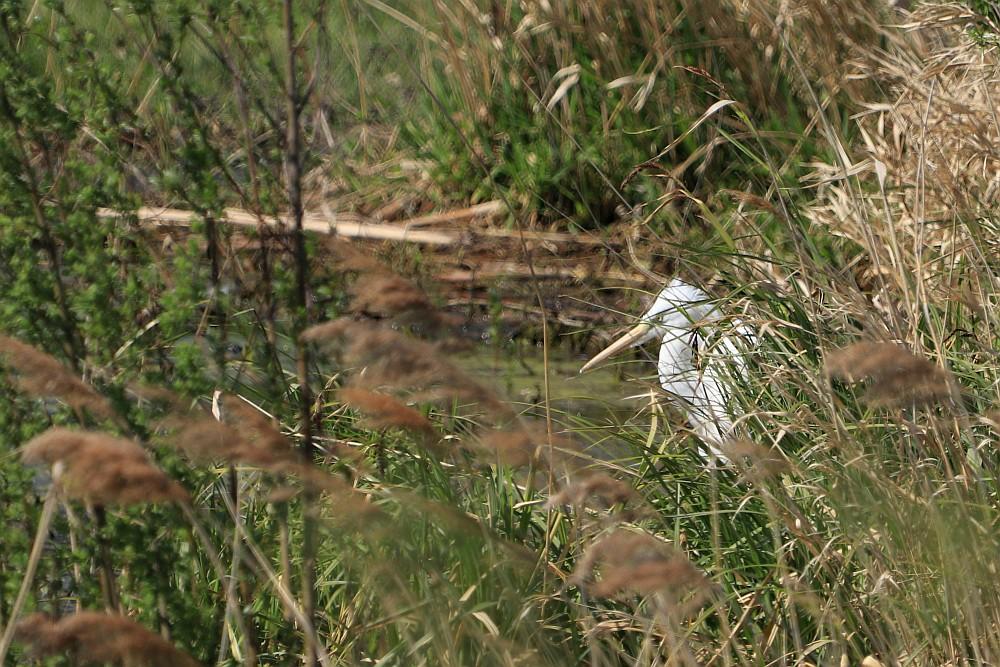 Silberreiher, 23.04.20 Foto: Hartmut Peitsch