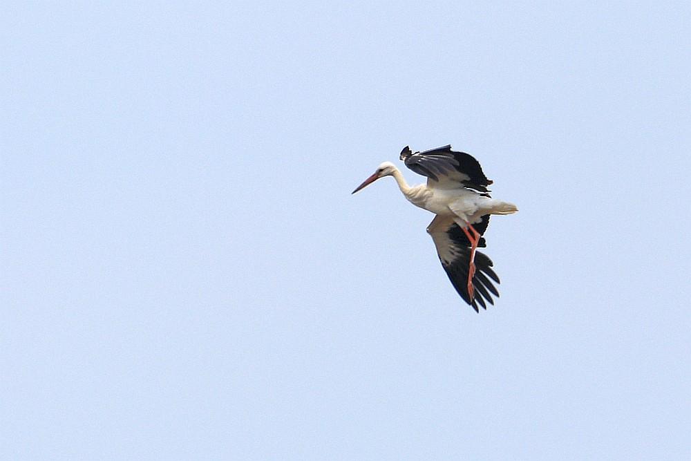 Landender Storch, 16.05.20 Foto: Hartmut Peitsch