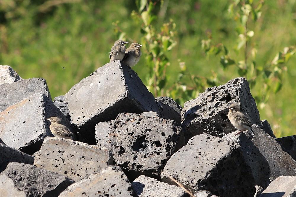 4 von 5 jungen Bachstelzen auf dem Steinhaufen. 28.05.20 Foto: Hartmut Peitsch