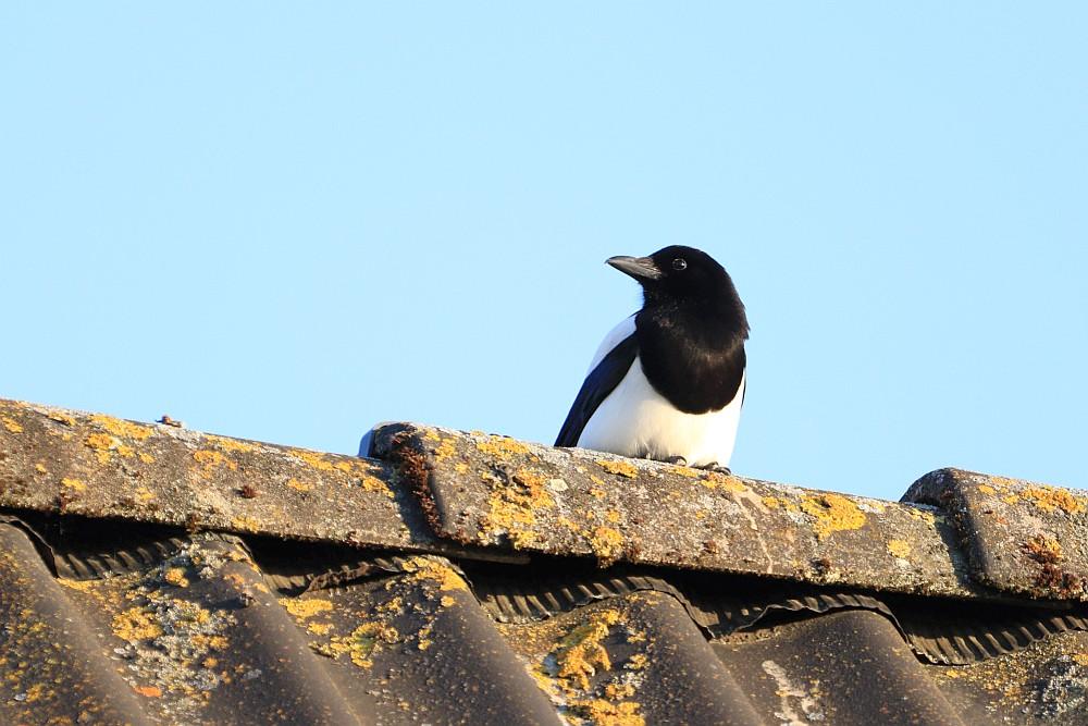 Elster auf Nachbars Dach, 07.05.20 Foto: Hartmut Peitsch