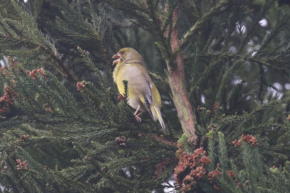 Grünfink
