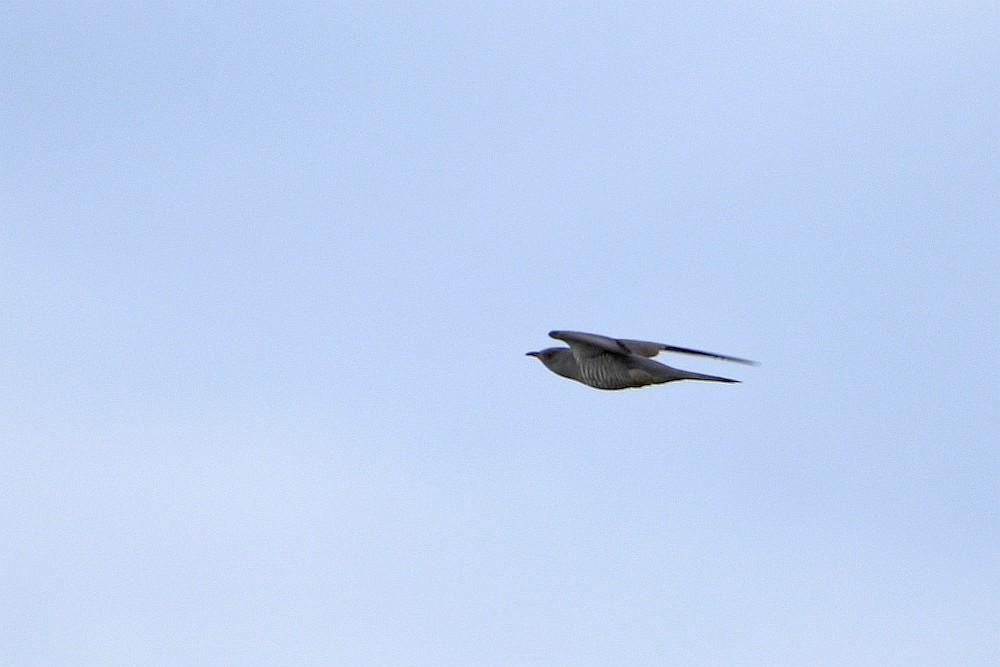 Kuckuck abfliegend, 15.05.20 Foto: Hartmut Peitsch