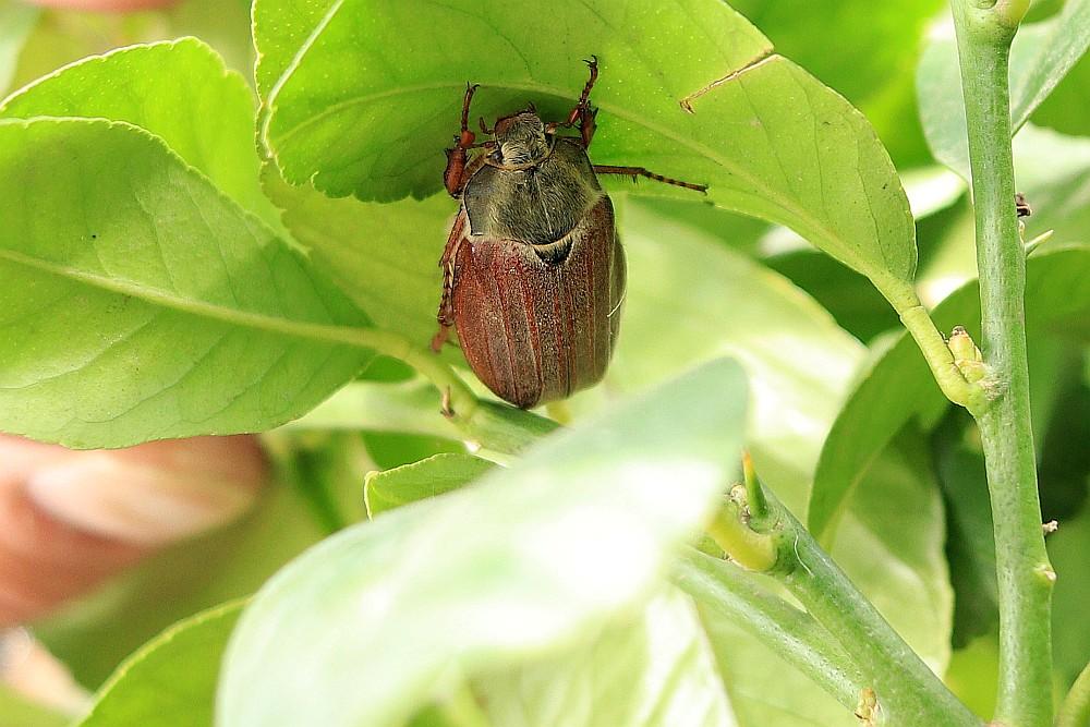 Pünktlich zum 1. Mai zeigte sich dieser Maikäfer in unserem Garten. 01.05.20 Foto: Hartmut Peitsch